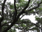 Just one of many spanish moss and large oak trees found in the south